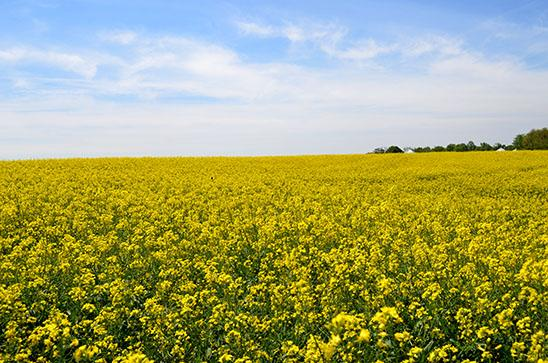 Splash of yellow in fields across state show kentuckys increasing photo provided mightylinksfo
