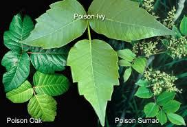 Feeling Itchy Learn How Avoid And Treat Poison Ivy Oak Sumac Nkytribune