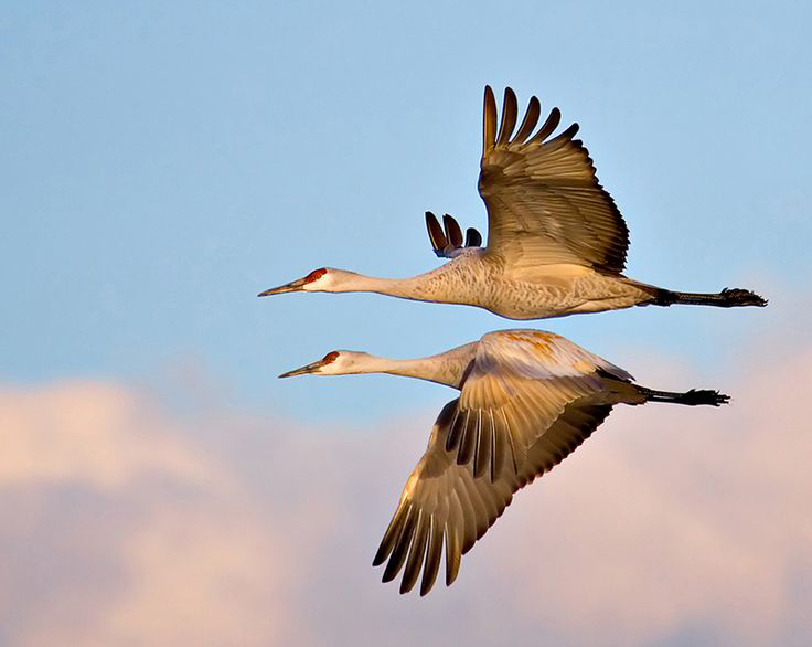 Sandhill cranes migrate through Kentucky twice a year, from their breeding grounds to wintering grounds, and back. Their migration corridor is bounded roughly by Henderson, in the west, to Lexington, in the east. The sandhill cranes that are being hunted in Kentucky are birds that winter here.
