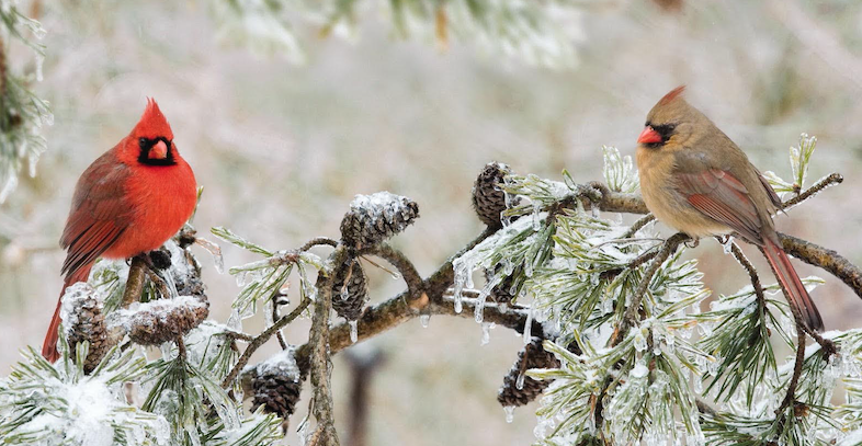 Art lander s outdoors singing the praises of the - Pictures of cardinals in snow ...