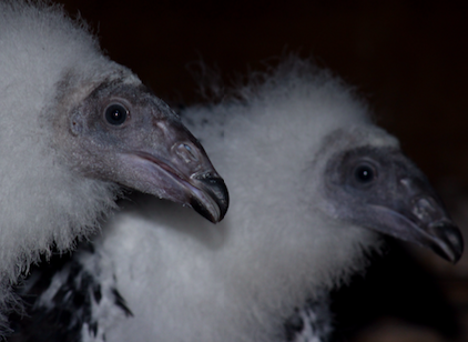 Young turkey vultures. (Photo by Kimmy Birrer)