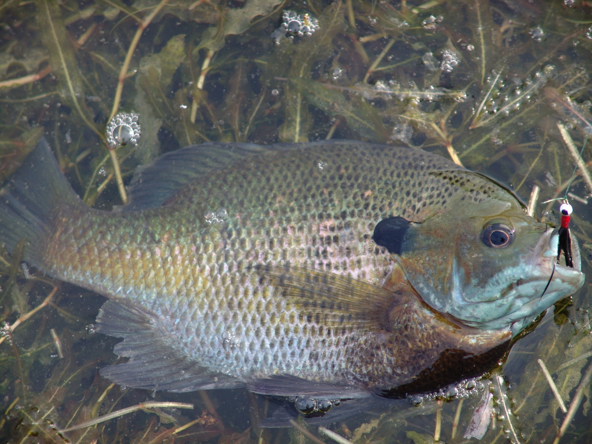 Kentucky afield outdoors late spring great time of year for Blue gill fishing