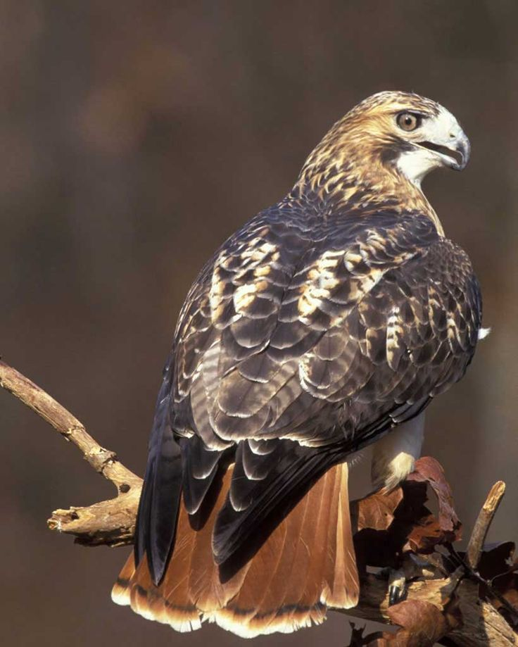Art Lander's Outdoors: The Red-tailed Hawk, Kentucky's ...