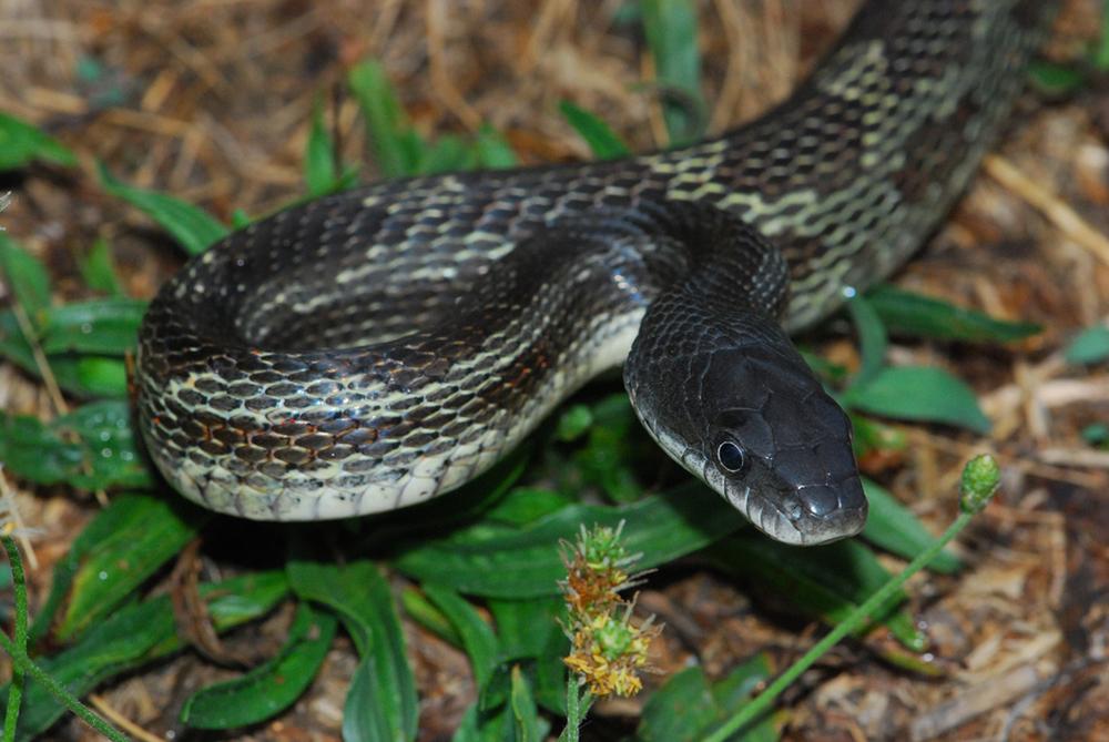 Art Lander's Outdoors: The Black Rat Snake, common across