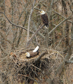 A bald eagle nest photographed from the helicopter during an annual nesting survey. (Photo From KDFWR)