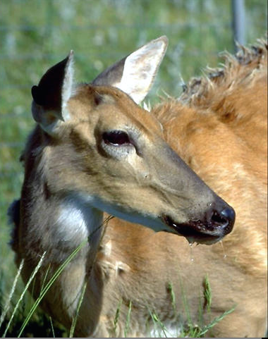 In the terminal stages of infection, deer show signs of progressive weight loss, excessive salivation and urination. Other noticeable changes include listlessness, lowering of the head, and blank facial expression (Photo Provided)