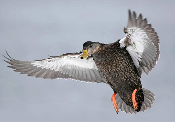 Blackduck
