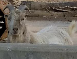 Houdini, the I-65 goat, has new home at Broadbent Wildlife Sanctuary